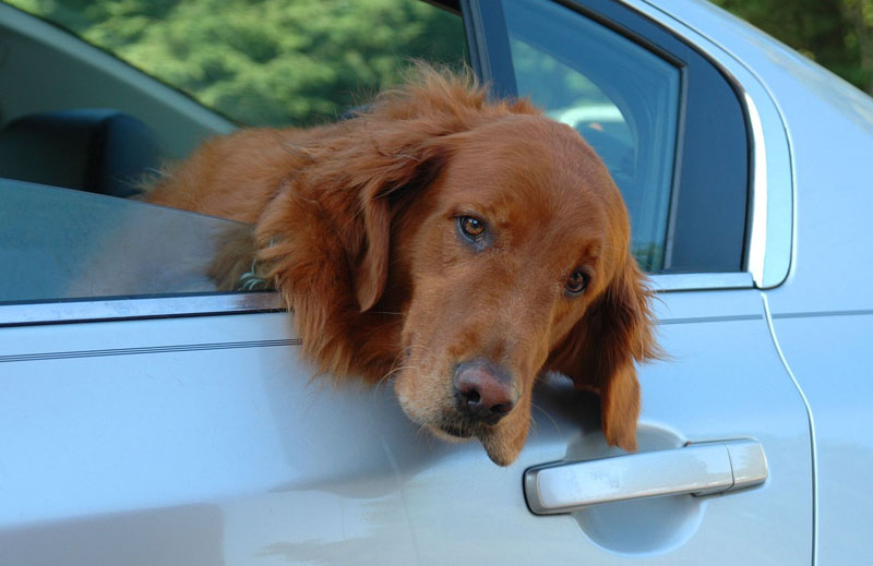 3426523 - sad eyed golden retreiver, hanging his head out a car window