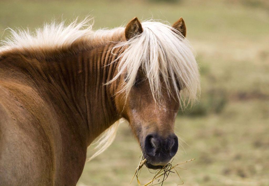 Cushing Syndrom beim Pferd