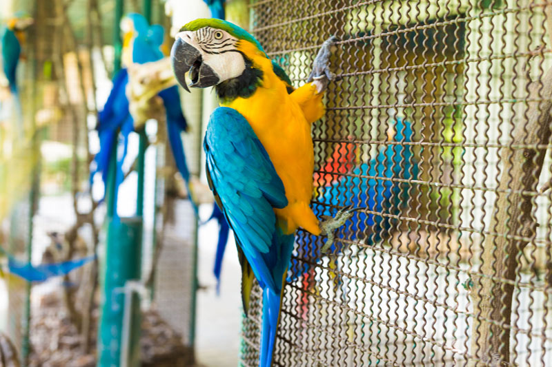 45841707 - parrot bird sitting on the cage, macaw bird