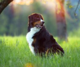 Allergien-bei-Hunden