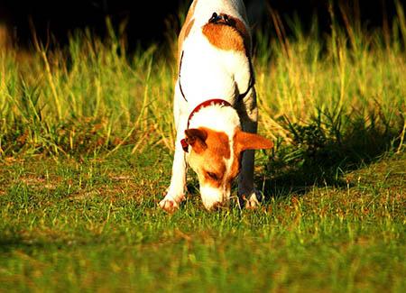 Hund friest Gras, Fotoquelle: 123RF