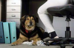 Hunde senken den Stresslevel im Büro. Fotoquelle: IVH