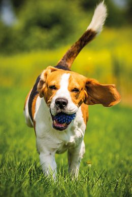 Beagle dog fun in garden outdoors run and jump with ball towards