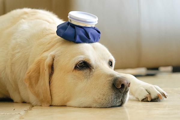 blue-ice-pack-on-a-dog-s-head-2021-04-05-01-27-40-utc